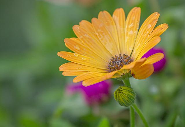 寄せ植え – オステオスペルマム