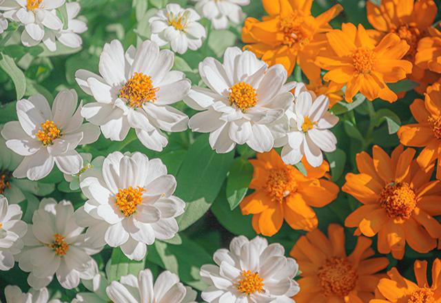 ジニア、花盛り